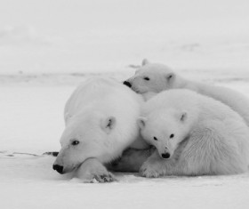 Polar bear black and white photo Stock Photo