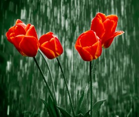 Red flowers in the rain Stock Photo