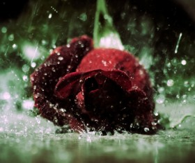 Red rose in the rain Stock Photo