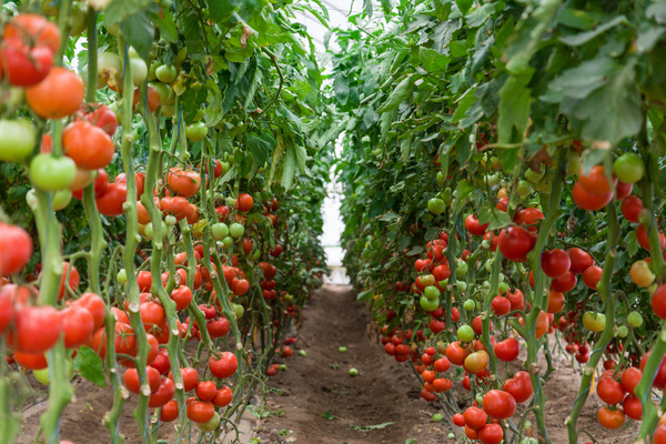 Ripe tomatoes in the greenhouse Stock Photo
