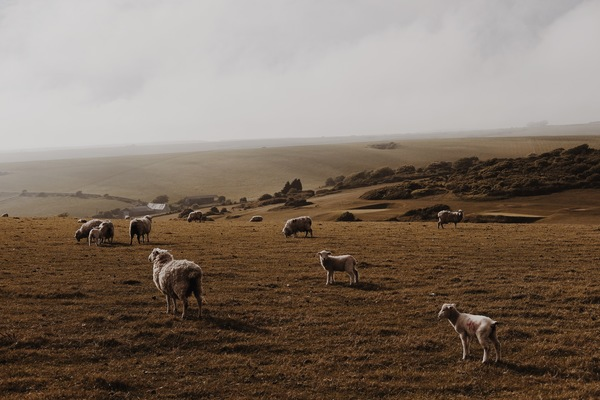 Sheep on pasture meadow Stock Photo