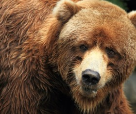 Small-eyed brown bear Stock Photo