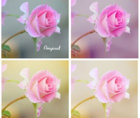 Soft roses Photoshop Actions