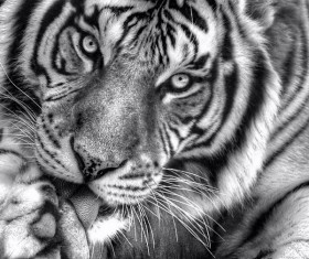 Tiger licking paw black and white photo Stock Photo