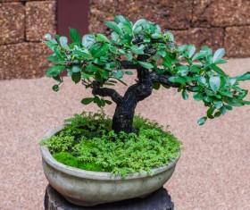 Tree bonsai Stock Photo 01