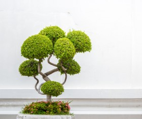 Tree bonsai Stock Photo 02