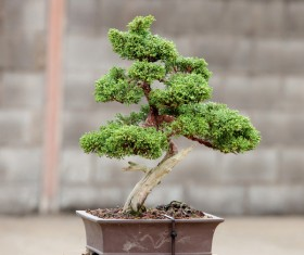 Tree bonsai Stock Photo 03