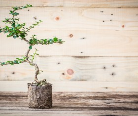 Tree bonsai Stock Photo 04