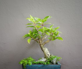 Tree bonsai Stock Photo 05