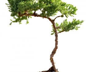 Tree bonsai Stock Photo 06