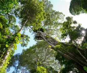 Tropical rainforest lianas Stock Photo 03