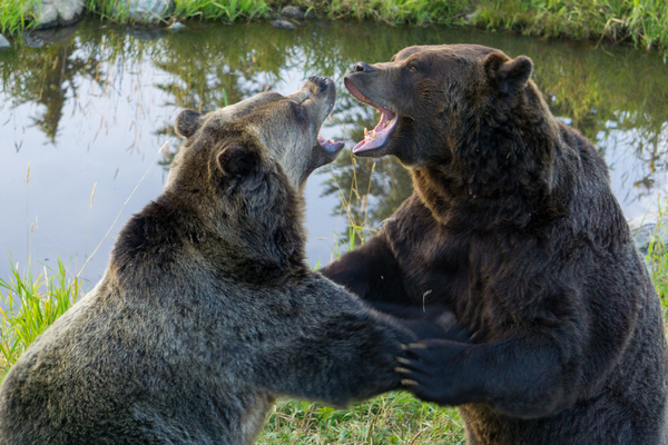 Two quarrel and fight noisily bears Stock Photo