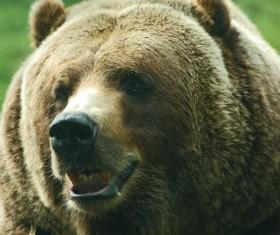 Vicious bear Stock Photo