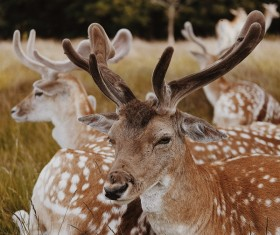 Wild reindeer herd lying on meadow Stock Photo