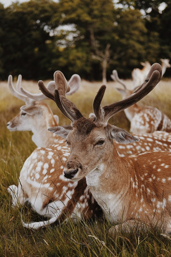 Wild reindeer herd lying on meadow Stock Photo