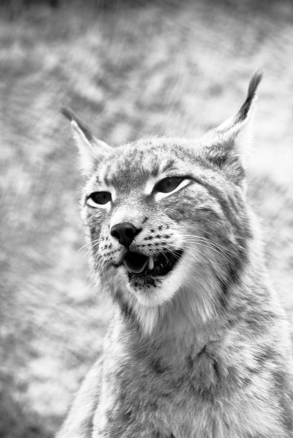 Wildlife black and white photo Stock Photo