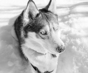 Wolf black and white photographs on the snow Stock Photo