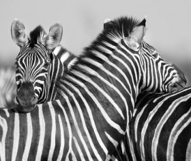 Zebra black and white photo Stock Photo