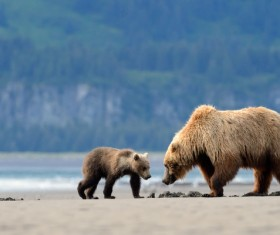 bear mother with a little bear foraging Stock Photo