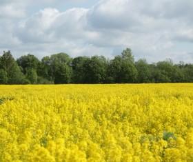 springtime canola flower field Stock Photo