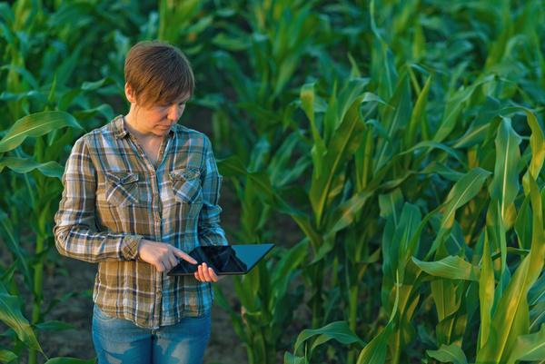 Agronomist examines in cornfield Stock Photo 01
