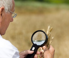 Agronomist examines wheat Stock Photo