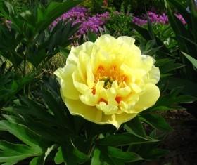 Beautiful yellow peony flower Stock Photo