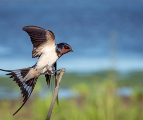 Black cute swallow Stock Photo