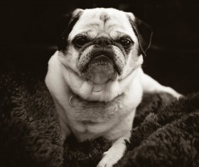 Black white picture cute small dog Stock Photo
