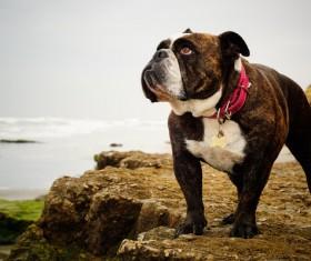 Bulldog Stock Photo 01