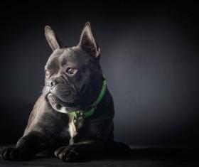 Bulldog Stock Photo 03