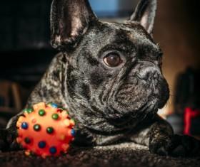 Bulldog Stock Photo 04