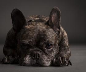 Bulldog Stock Photo 05