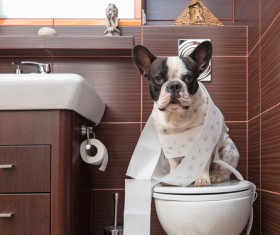 Bulldog sitting on the toilet Stock Photo