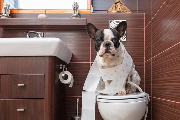 Bulldog sitting on the toilet Stock Photo
