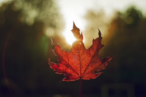 Closeup of red leaf under sunlight Stock Photo