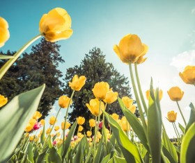 Dutch national flower yellow tulips Stock Photo