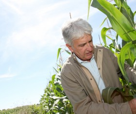 Farmer checking corn maturity Stock Photo