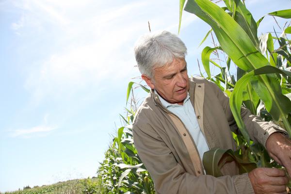 Farmer checking corn maturity Stock Photo