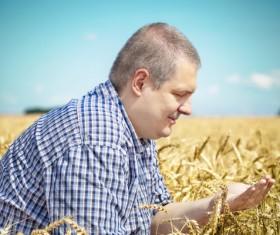Farmer checking wheat Stock Photo