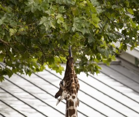 Giraffe eating fresh leaf on tree Stock Photo