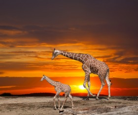 Giraffe mother and child Stock Photo