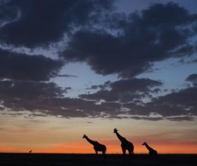 Giraffe on the grassland Stock Photo 09