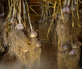 Hanging garlic under the roof Stock Photo