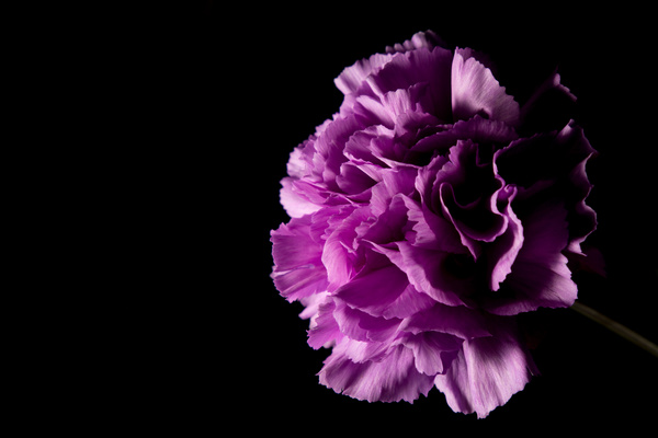 One flower on a dark background Stock Photo 03