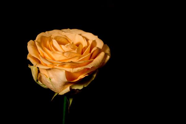 One flower on a dark background Stock Photo 09