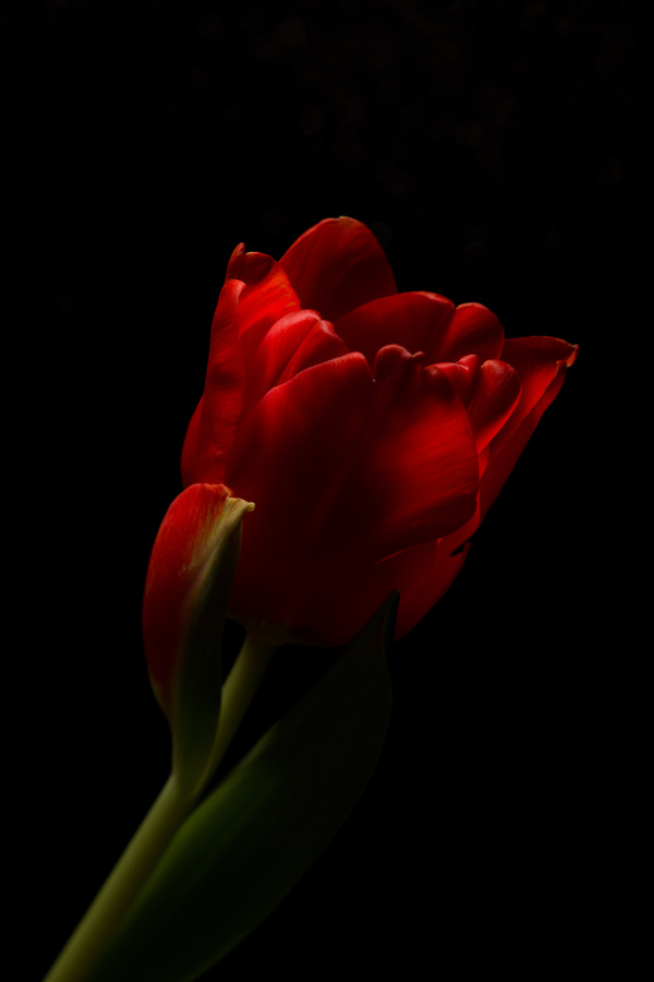 One flower on a dark background Stock Photo 12