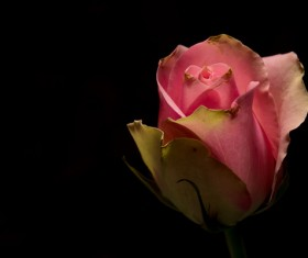 One flower on a dark background Stock Photo 13