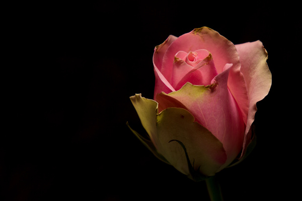 One flower on a dark background Stock Photo 13