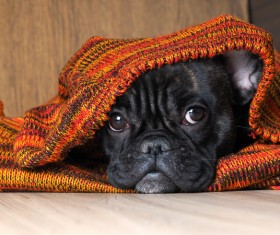 Puppies covered with blankets Stock Photo